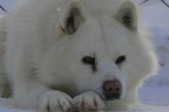 Tomamu Donkoro NPO (dog sledding)